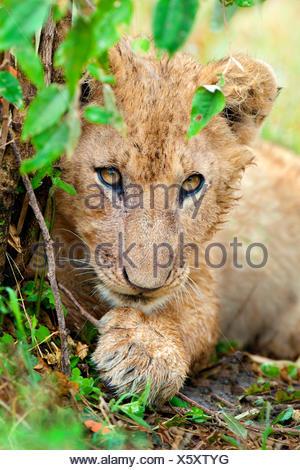 Africa lion cub (Panthera leo), Masai Mara Reserve, Kenya, East Africa - Stock Photo