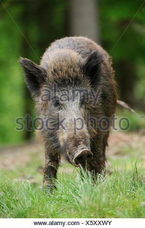 Wild boar (Sus scrofa), sow, captive, Bavaria, Germany - Stock Photo