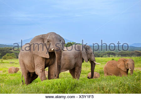 African elephant (Loxodonta africana), group on the feed, South Africa - Stock Photo