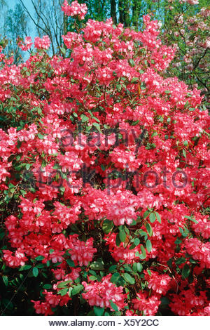 William's azalea (Rhododendron williamsianum), blooming - Stock Photo