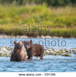 Brown Bear Cubs Fishing For Salmon In Mikfik Creek, Mcneil River State Game Sanctuary, Southwest Alaska, Summer - Stock Photo