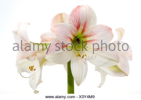 Weisse Amaryllis, Ritterstern (Hippeastrum) - Stock Photo
