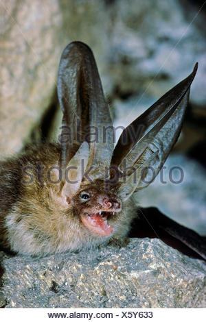 Braunes Langohr, Braune Langohrfledermaus, Grossohr (Plecotus auritus), drohend, Portraet, Deutschland | brown long-eared bat, c - Stock Photo