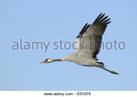 Crane, Grus Grus, Germany - Stock Photo