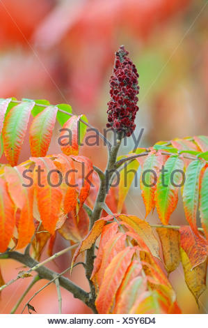 Staghorn Sumac (Rhus typhina), inflorescence and leaves in autumn, native to North America - Stock Photo