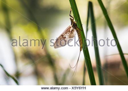 Mayfly (Ephemeroptera), Pupplinger Au, Upper Bavaria, Bavaria, Germany - Stock Photo