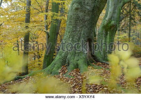 autumn at a beech forest at hunte river near doetlingen, oldenburg district, niedersachsen, germany / herbst in buchewald an der hunte, dötlingen, lan - Stock Photo