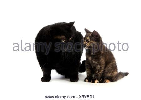 Black British Shorthair Mother and Black Tortoise-shell British Shorthair Kitten, Domestic Cat against White Background - Stock Photo