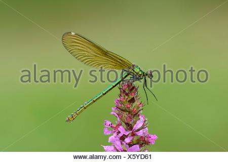 Banded Demoiselle (Calopteryx splendens), female, Reussspitz, Maschwanden, Switzerland, Europe - Stock Photo