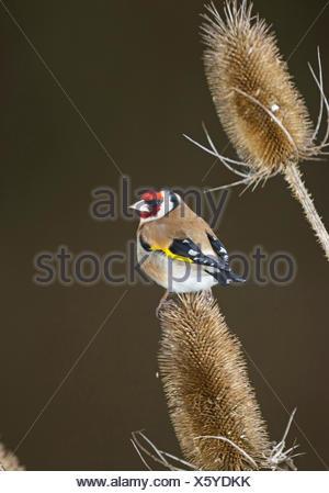 Eurasian goldfinch (Carduelis carduelis), sitting on infructescence of teazle, Germany - Stock Photo