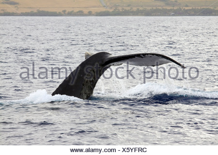 White tail flukes of Humpback Whale dripping with water off the west coast of Maui, Hawaii - Stock Photo