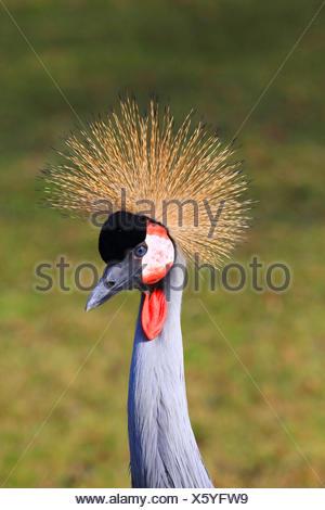 South African crowned crane, Grey crowned crane (Balearica regulorum), portrait - Stock Photo