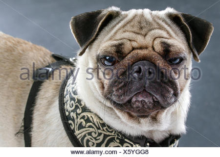 Pug (Canis lupus f. familiaris), portrait of a moody pug - Stock Photo