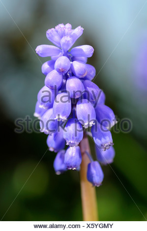 Common Grape Hyacinth (Muscari botryoides) blossoms - Stock Photo