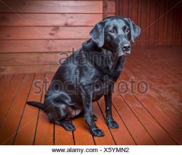 Black Labrador Retriever.Young male guide dog for the blind - Stock Photo