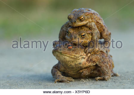 Common european toad {Bufo bufo} two males attempting to mate with one female, the Netherlands - Stock Photo