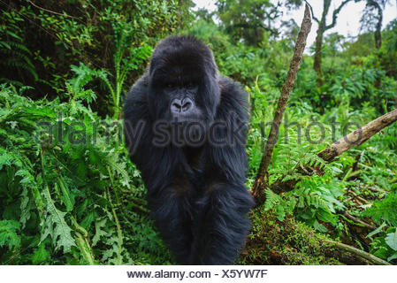 A male black-back mountain gorilla foraging in Volcanoes National Park. - Stock Photo