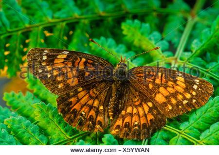 Harris' Checkerspot Butterfly, (Charidryas harrisii) - Stock Photo