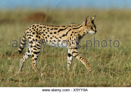Serval cat (Felis serval) Masai-Mara Game Reserve, Kenya. - Stock Photo