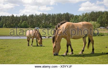 Przewalski Horse Equus ferus przewalskii captive breeding, Kadzidlowo, Poland - Stock Photo