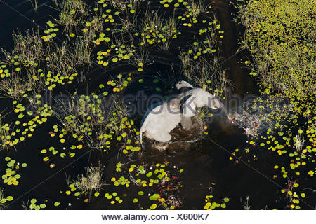An aerial view of an African elephant, Loxodonta africana, walking in a flood plain. - Stock Photo