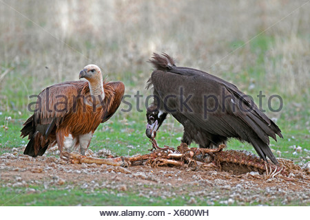cinereous vulture (Aegypius monachus), cinereous vulture feeding on a dead sheep, griffon vulture is standing nearby, Spain, Extremadura - Stock Photo