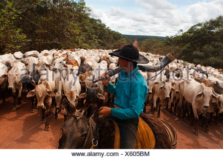 Herd of cattle, BR-163 road ( Cuiabá - Santarém road ) at South Para State, Amazon, Brazil. - Stock Photo