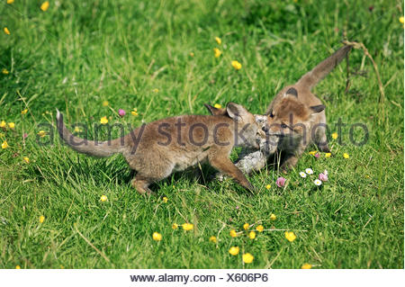 Red Fox, vulpes vulpes, Pup with Wild Rabbit in mouth, Normandy