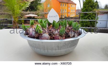 Jacinthe (Hyacinthus orientalis), flower bowl with jacinthe bulbs on a desk, Germany - Stock Photo