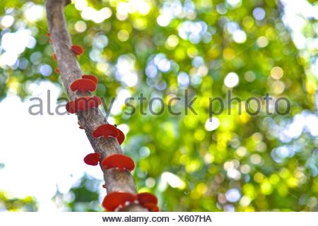 Red fungi grows on a tree branch in the Poco das Antas Biological Reserve. - Stock Photo