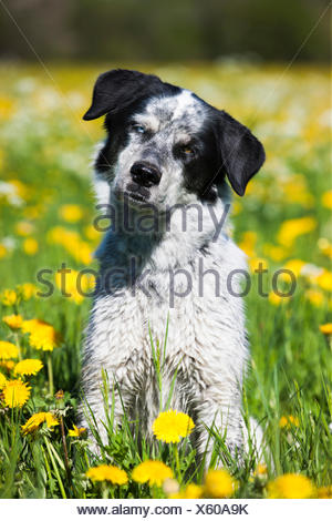 Husky Münsterländer Labrador mixed-breed dog, black and white dog sitting in a dandelion meadow, Austria - Stock Photo