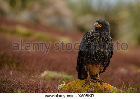 Striated caracara, Phalcoboenus australis, perches on a lichen covered rock. - Stock Photo