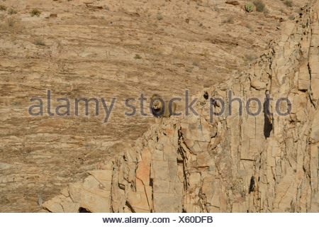 Male Desert Lion (Panthera leo) named 'Rosh' on a rock in the dry river bed of the Obias River - Stock Photo