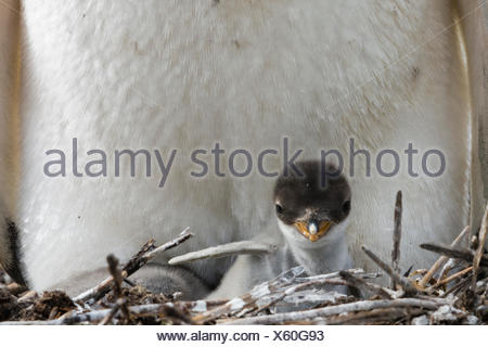 A Gentoo penguin, Pygoscelis papua, with its chick. - Stock Photo