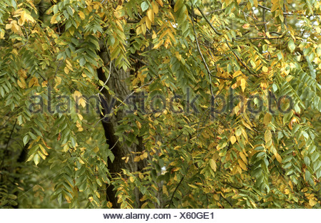 bitter-nut hickory, bitternut hockory (Carya cordiformis), begining autumnal colouration - Stock Photo