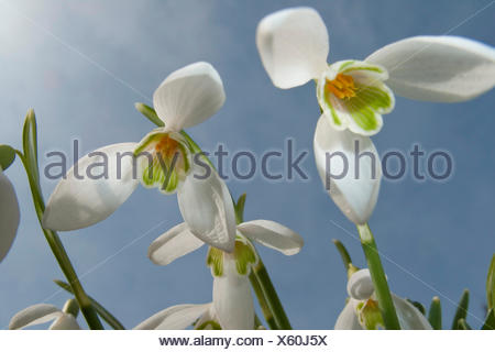 common snowdrop (Galanthus nivalis), flowers from below, Germany, Rhineland-Palatinate - Stock Photo