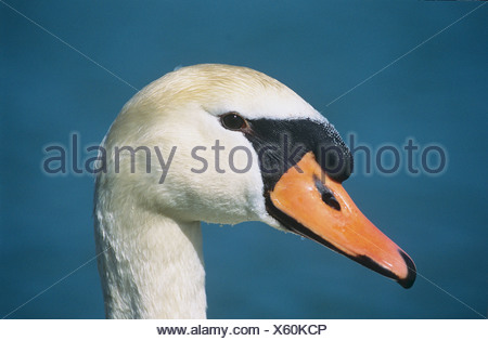 Mute swan - portrait / Cygnus olor - Stock Photo