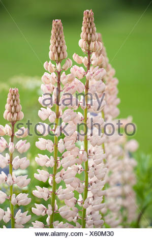 Lupin Flowers, Lupinus polyphyllus, Finland - Stock Photo