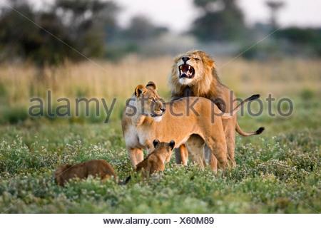 Africa, Botswana, African Lion (Panthera leo) Lioness (Panthera leo) and cubs - Stock Photo