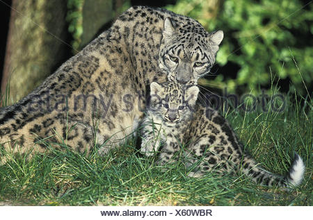 Snow Leopard or Ounce, uncia uncia, Mother and Cub - Stock Photo