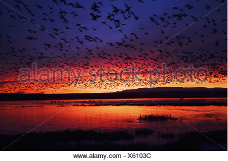 Snow Goose Chen caerulescens flock lifting off at sunrise Bosque del Apache National Wildlife Refuge New Mexico USA - Stock Photo