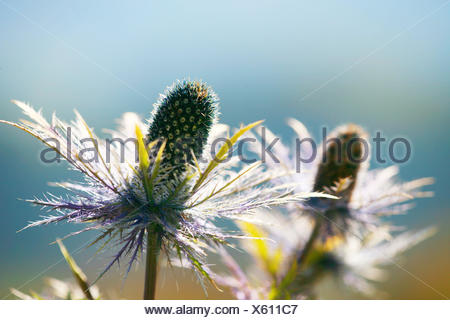 Alpine sea holly, Eryngium alpinum, detail, - Stock Photo