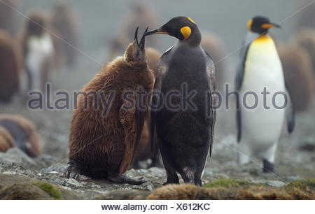 King Penguin with chick, Macquarie Island, Southern Ocean - Stock Photo