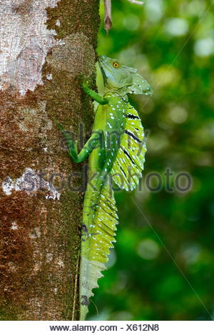 A plumed basilisk, Basiliscus plumifrons, also called a green basilisk, is at rest on a tree trunk. - Stock Photo