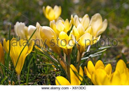 Frühlingsboten, blühende Krokusse, Crocus - Stock Photo