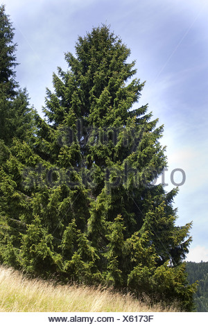 Norway spruce (Picea abies), single tree, Germany - Stock Photo