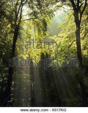 Sun rays in a forest near Denkingen, Zollernalb district, Swabian Alps, Baden-Wuerttemberg - Stock Photo