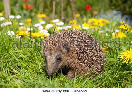 Western hedgehog, European hedgehog (Erinaceus europaeus), in a garden in spring with dandelion and common daisy - Stock Photo