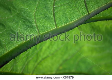 Close-up of a Gunnera leaf - Stock Photo