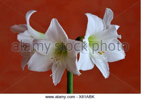 Flowering white Amaryllis (Hippeastrum) in a vase against an orange wall, Eckenhaid, Eckental, Middle Franconia, Bavaria - Stock Photo